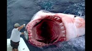 real megalodon shark sightings pictures. Beautiful Sightings MEGALODON SHARK EXISTS Recent Sightings U0026 Sharks Pictures Prove It To Real Megalodon Shark Sightings Pictures E
