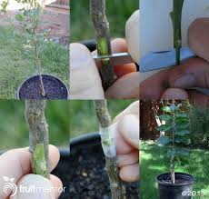 Grafting Citrus Trees  How To Bud Graft SuccessfullyHow To Graft Fruit Trees With Pictures