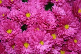 the incompatibilities between the couple in the chrysanthemums english chrysanthemums