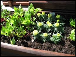 how to lay out a garden. Companion Planting With Marigolds How To Lay Out A Garden