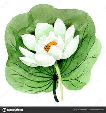 White lotus flower with green leaf ...