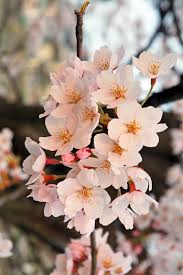 anese flowering cherry definition