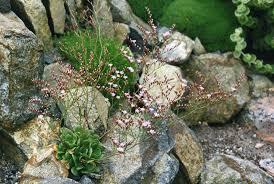 Limonium bellidifolium - Wikipedia, la enciclopedia libre