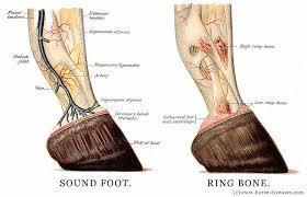 Anatomy Horse Foot Hoof Picture