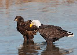 Bald Eagle Age Chart A Guide To Aging Bald Eagles Feathered Photography