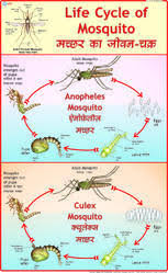 Mosquito Chart Life History Of Mosquito Charts