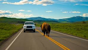 bison on the road near yellowstone national park