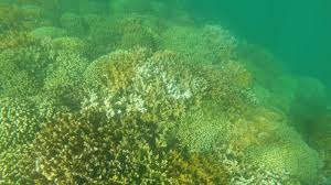 chemicals in sunscreen are harming coral reefs says new study  chemicals in sunscreen are harming coral reefs says new study the two way npr
