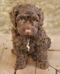 Small Picture 158 best Labradoodle images on Pinterest Animals Goldendoodles