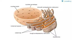 Endoplasmic Reticulum 16 Endoplasmic Reticulum In Hindi