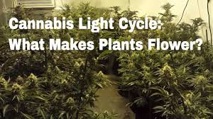 Pot Plant Light Cycle Cannabis Light Cycles Documentary What Is The Difference Between Veg And Flower What Causes Bloom