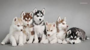 cute siberian husky puppy wallpaper. Wonderful Puppy Water Animals Dogs Swimming Huskies Wallpaper Background  Google Search Siberian  Huskies Baby And Cute Husky Puppy P