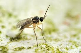 Gnat Identification Chart Fungus Gnats How To Get Rid Of Fungus Gnats In Houseplants