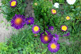 flowers garden. Astra Flowers Garden Nature Plant A