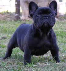 black french bulldog. Contemporary French Black French Bulldog Intended