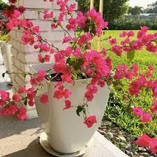 Primo 'pretty pistachio' and dolce 'appletini' (shown here) may be coralbells (heuchera spp.), but they have enough pizzazz to hold interest by themselves, making them one of the best plants for container gardening. Top 20 Plants That Love Living In Pots Style Curator