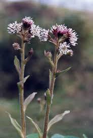 Petasites fragrans - Wikipedia