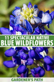 11 native blue flowers for the garden