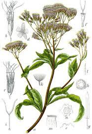 Eupatorium cannabinum Hemp Agrimony PFAF Plant Database