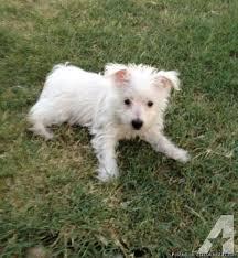 west highland white terrier maltese mix. Wonderful Maltese Westie Mix WestieMaltese For Sale In Keller Texas Throughout West Highland White Terrier Maltese N