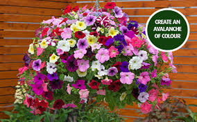 wver you decide to do with your petunias you can be sure you won t be short of flowers this summer with our spectacular collection