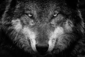 Wolf 4k Ultra Hd Wallpaper Hintergrund 4404x2936 Id