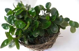 view in gallery vibrant baby rubber plant