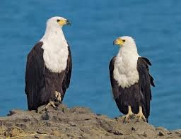 Small Picture African fish eagle Kids Britannica Kids Homework Help