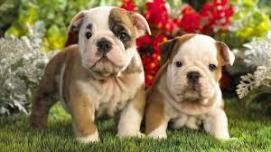 cute pitbull puppies wallpaper. Beautiful Cute Dog Cute And Puppy Image In Cute Pitbull Puppies Wallpaper W