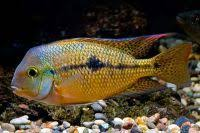 African Cichlid Growth Chart 84 Best Fish