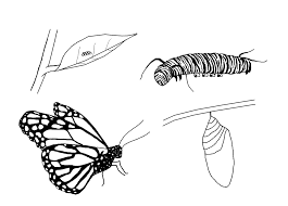 Butterfly Life Cycle Coloring Page Free Life Cycle Coloring Pages ...