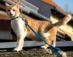 mèo đi dạo bộ