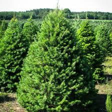 douglas fir pictures. Modren Douglas Home Other Evergreen TreesDouglas Fir Sold Out With Douglas Fir Pictures L