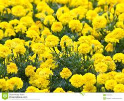 yellow flower marigold in the garden