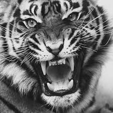 white tiger growling.  White Tiger Growl 2 In White Tiger Growling