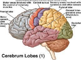 similiar cerebrum diagram keywords cerebrum location diagram get image about wiring diagram
