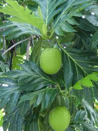 Olive Tree Care Grow An Olive Tree Indoors  HGTVFruit Trees For North Florida