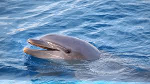 Imagini pentru delfin