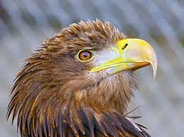 Image result for Sea Eagle Jigsaw Puzzle