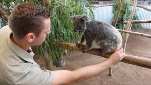 koalas bear record number of joeys bega district news feisty oakvale farm and fauna world curator lachlan gordon kinya the only female