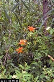 Plants Profile for Hemerocallis fulva (orange daylily)