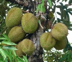 Fig Tree Bearing Fruits Stock Photo  Image 60454716Tree Bearing Fruit