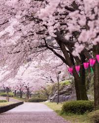 Bunga Sakura Bunga Sakura Di Jepang Diperkirakan Mekar Lebih Awal Catat