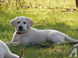 english yellow lab puppies. Beautiful Yellow For Sale In Browns Valley California 95918 Classifieds U0026 Buy And Sell   Americanlistedcom To English Yellow Lab Puppies W