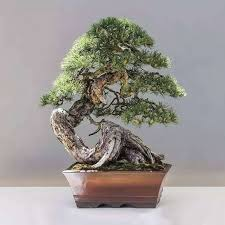 Image Jack Fruit 20 Juniper Bonsai Tree Seeds Potted Flowers Office Bonsai Purify The Air Absorb Harmful Gases Aliexpress 20 Juniper Bonsai Tree Seeds Potted Flowers Office Bonsai Purify The