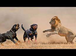 pitbull dog vs lion. Perfect Pitbull 5 Rottweilers Vs Lion  Who Would Win In A Fight In Pitbull Dog Vs N