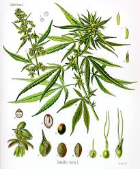 Marijuana Drug Scheduling: Something We Need to Ask Ourselves – Baines  Report