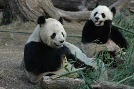 animals in zoo pictures. Brilliant Animals Giant Pandas Enjoy Life At Washington Zoo Inside Animals In Pictures C