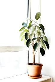 tall house plant green thumb the easiest indoor plants to grow in your home tall indoor
