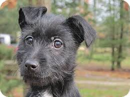 scottish terrier mix. Plain Terrier Washington DC  Scottie Scottish Terrier Meet Buttons A Dog For Adoption In Terrier Mix P